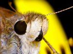 Бабочка толстоголовка (Atalopedes campestris)
