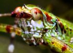 Голова зеленого кузнечика