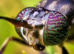 Черная муха-львинка