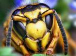 Оса настоящая (Vespula squamosa)