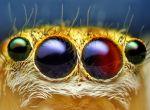 Детальный снимок глаз самки паука-скакуна (Maevia inclemens)