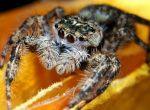 Самка паука-скакунчика